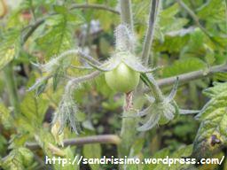 tomatten.jpg